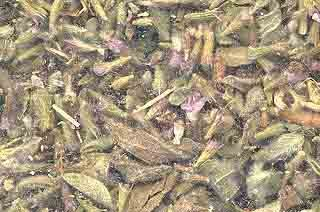 Bulk Pennyroyal Leaf cut
