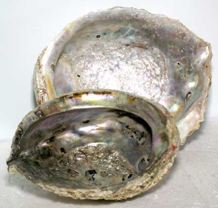 "Abalone Shell burner  5""-6"""